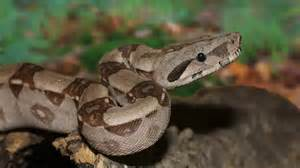 Boa Constrictor Eats Whole Pigeon On Busy London Street