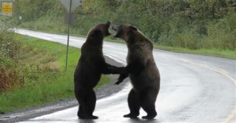 Video: Grizzly bear fight caught on camera in Northern B