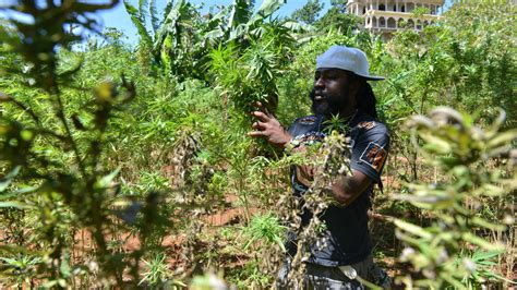 Jamaica, Long Opposed to Marijuana, Now Wants to Cash In