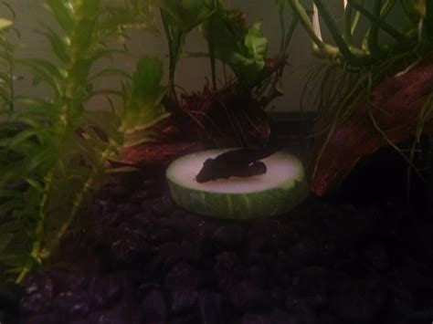 As I missed pleco day, heres my now deceased / hiding