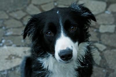Fizz – 3 year old female Border Collie dog for adoption