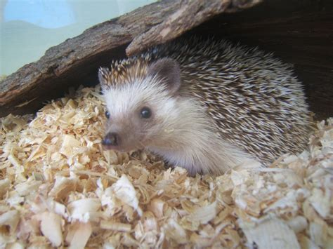 African Four-toed Hedgehog - ZooChat