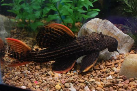 Live Freshwater Fish - 12 inch Scarlet Cactus (L-025