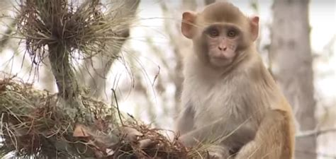 Possible Herpes-Infected Monkeys Invade Florida Coast