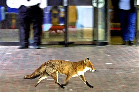 Simon Jenkins: They may look cute, but urban foxes are a