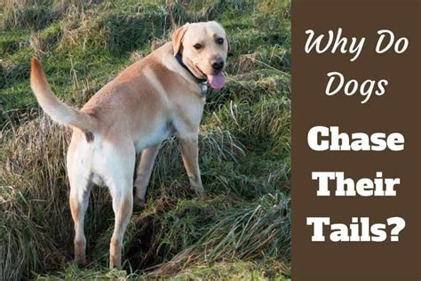 Why Do Dogs Chase Their Tails? is it Ever Anything to