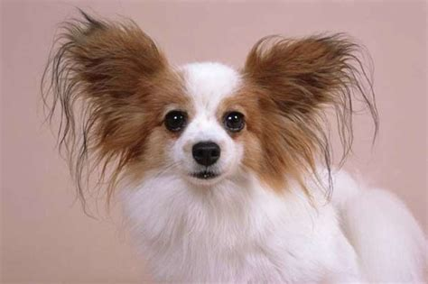 The world's 25 smallest dogs - Houston Chronicle