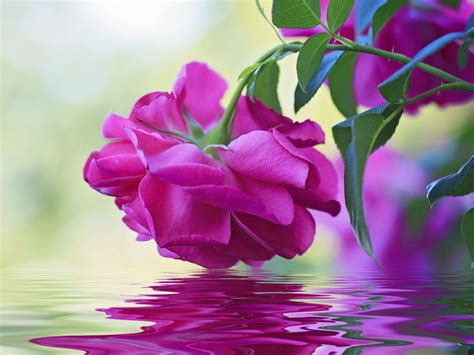 Beautiful Flower Pink Rose Green Leaves Reflection In