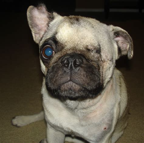 Dallas Fort Worth Pug Rescue: Small But Mighty