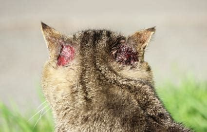 Scabies in cats - McDowell's Herbal Treatments