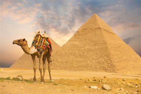 Camel Standing Front Pyramids H Stock Photo - Download