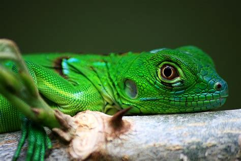 Green Iguana for sale online blue iguana for sale red baby