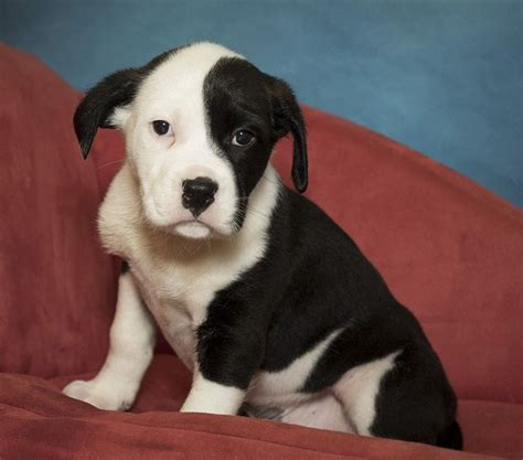 Bulloxer dog for Adoption in Potomac, MD